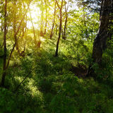 Sun rays in old forest Royalty Free Stock Photos