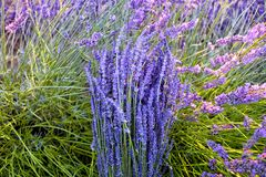 Sun rays over a bouquet of lavender stock image