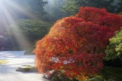 Sun Rays over Old Japanese Maple Tree Stock Photography