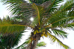 Sun rays through palm tree. Royalty Free Stock Photo
