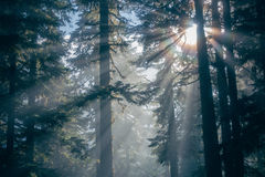 Sun Rays Passing Thru Trees in the Forest at Daytime Stock Images