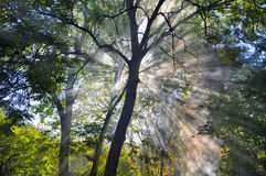 Sun Rays Penetrate Dense Forest Fog. In evening Royalty Free Stock Photos