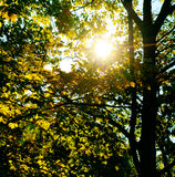 The sun rays penetrate through the leaves and branches of the Royalty Free Stock Image