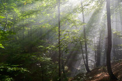 Sun rays penetrating forest. Sun rays penetrating green forest Stock Photos