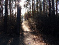 Sun rays in pine forest Stock Photography