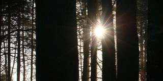 Sun rays in pine forest Royalty Free Stock Images