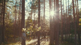 Sun rays in a pine forest stock footage