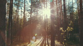 Sun rays in a pine forest. Shot of the sun shining through the trees stock video
