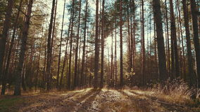 Sun rays in a pine forest. Shot of the sun shining through the trees stock footage