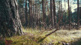 Sun rays in a pine forest. Slider shot of the sun shining through the trees stock video footage