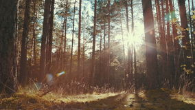 Sun rays in a pine forest. Slider shot of the sun shining through the trees stock video