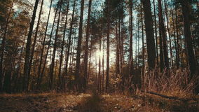 Sun rays in a pine forest. Slider shot of the sun shining through the trees stock footage