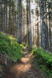 Sun Rays Through Pine Forest. With winding trail royalty free stock photography