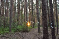 Sun rays through pine trees Royalty Free Stock Image
