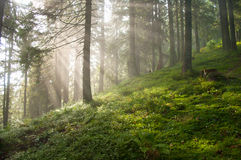 Sun rays among pine trees in the forest Stock Photos