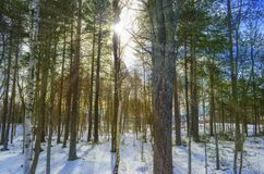 Sun rays through the pine wood stock image