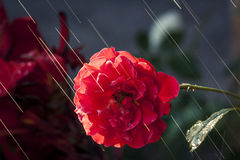 The Sun Rays & The Rose. Just the sun rays lighting the garden Royalty Free Stock Images