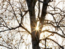 Sun rays. Seen through birch tree Stock Photos