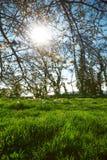 Sun rays shine through blossom Stock Images