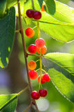 Sun rays shine through green leaves and red berries Royalty Free Stock Photo