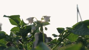 Sun Rays Shine Through Leaves And Flowers Of A Blossoming Potato Bush In Field stock footage