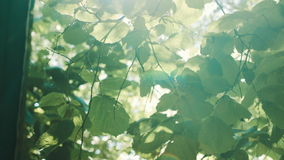 Sun rays shine through the leaves stock video footage