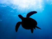 Sun Rays Shine on Sea Turtle in Silhouette in Blue Ocean Water. Sun rays penetrate surface of blue sea and light a turtle in silhouette royalty free stock photos