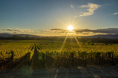 Sun rays shine on a Sonoma California vineyard at sunset Royalty Free Stock Photo