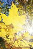 Sun rays shine among yellowed maple leaves in autumn forest. Young trees in the wild forest Stock Photos