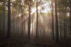 Sun rays shining in a beautiful enchanted forest with fog in summer Stock Photography