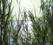 Sun rays shining through the big green grass like bamboo with blue sea surface and sky in background. Concept of nature background. Sun rays shining through the Stock Image