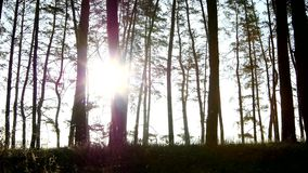 Sun rays shining through branches trees in the. Sun rays shining through branches of the trees in the old, dark wood, panorama view, slow dolly shot stock footage