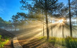 Sun rays shining down through the pine forest road foggy morning stock photography