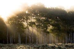 Sun rays shining through foggy aspen forest Stock Photography