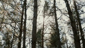 The sun rays are shining between the pine trees in the forest. The light of the sun rays are shining between the pine trees in the forest stock video