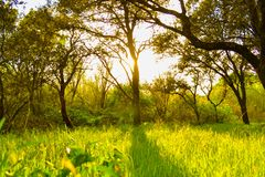 Sun rays shining through trees with defocused green grass field. Sun rays shining through trees with defocused green grass field Stock Images