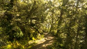 Sun rays shining through the trees in mysterious forest, Great walk Kepler track, New Zealand. Sun rays shining through the trees in mysterious forest. View of stock photo