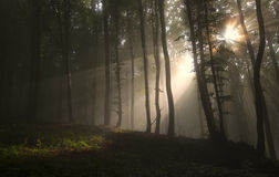 Sun rays shining trough fog in a forest Royalty Free Stock Photo