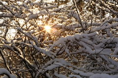 Sun rays in snowy  forest Royalty Free Stock Image