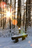 Sun rays in snowy pine forest Royalty Free Stock Photography