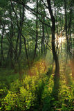Sun rays in spring forest. On sunset Royalty Free Stock Photos