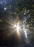 Sun Rays. Strong, bright sun rays shining through the trees highlighting green leaves Royalty Free Stock Images