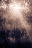 Sun rays through Summer branches in the park in sepia Stock Photos