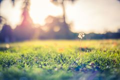 Amazing nature closeup green grass and dandelion meadow background with sun rays stock images