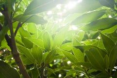 Sun-rays a través de las hojas Fotos de archivo libres de regalías