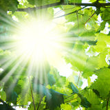 Sun rays through tree branches Stock Photos