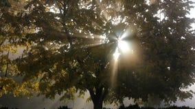 Sun rays through tree foliage, morning fog. Full HD stock video