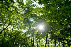 Sun rays in the tree leaves Stock Photography
