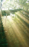 Sun rays through trees Royalty Free Stock Images