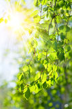 Sun rays through the trees. A background of sun rays coming through the leaves and branches of a tree Royalty Free Stock Images